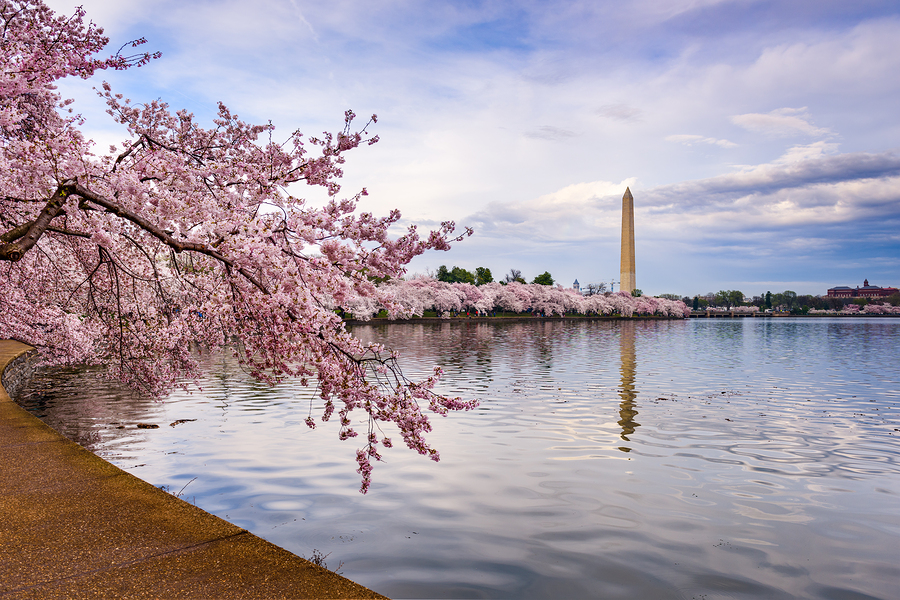 Washington Tidal Basin Blossums